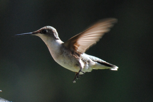 humming-bird-in-flight